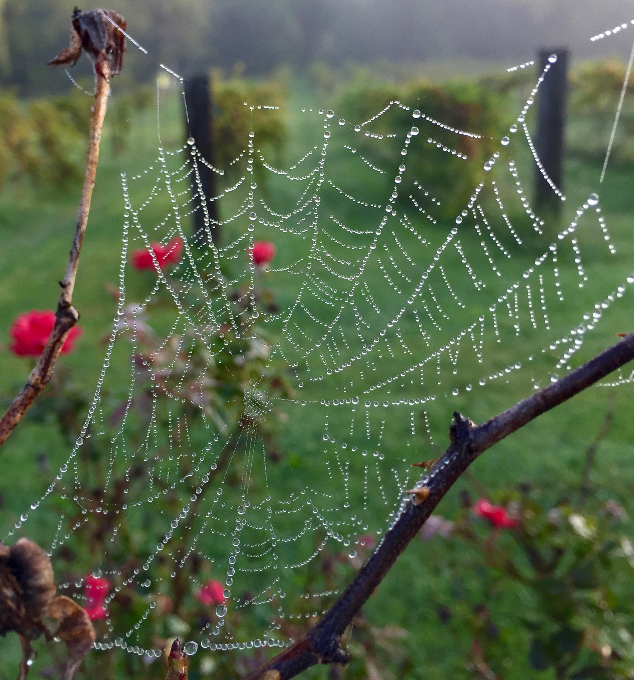 Spiderweb in dew with Mist